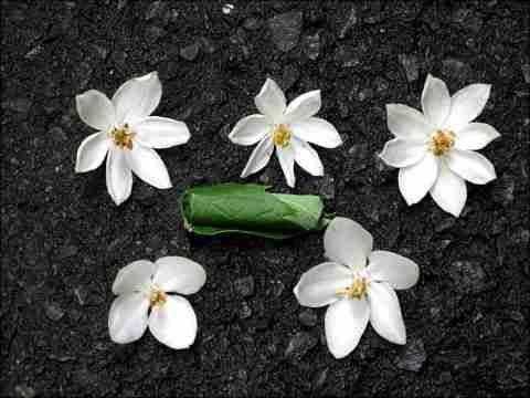エゴの花[1].JPG